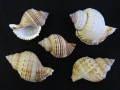 シゲトウボラ【約5〜7cm/5個入】貝 貝殻 シェル 巻貝 インテリア ハンドメイド マリン ハワイアン