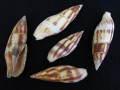 コゲフデ【約5〜8cm/5本入】貝 貝殻 シェル 巻貝 インテリア ハンドメイド マリン ハワイアン