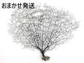 ウミウチワ-おまかせ発送-【横幅50~60cm/1本】