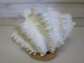 特選ヒレジャコ-8-【現品/約18cm】