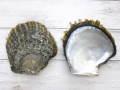 クロチョウガイ自然-両面-【約縦12.8cm横11.8cm/1セット】現品限り