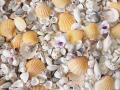 ♪保育園・幼稚園様に大人気♪ チビッコ貝殻セット(2kg 約20-25名分 1人分約80-100g)