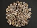 カシドラノプリオス【約 1.5~2.0cm/50g】[メール便可-4袋まで]