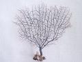 ウミウチワ-3105-【横約23cm/縦約22cm/1本】(現品)