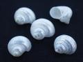 シルバーマウス真珠磨きB品【約2~3cm/5個】[メール便可-16袋まで]