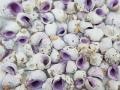 クチムラサキサンゴヤドリ(付着物付)【約1.5~3.0cm/500g ※100gあたり140円】 [メール便可-1袋まで]