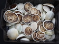 夜光貝のフタ10kgセット(おおよそ60個前後)【約5.0~8.5cm/約10kg】