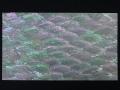 貝殻シート#14(ホワイトアバロン)【シートサイズ14cm×24cm 厚さ0.18mm-0.2mm 】