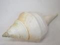 アラフラオオニシ磨きNO.22【約47cm/約2100g/1個/現品】