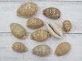 ホシキヌタ-小-【約2.5~5.0cm/10個】[メール便可-4袋まで]