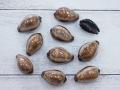 シプレアオニックス-小-【約2.5~3.5cm/10個入】[メール便可-6袋まで]