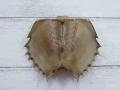 カブトガニ 抜け殻(腹部)-小-【約11cm前後/1個】