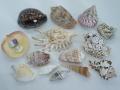 貝殻詰め合わせセット【約2~10cm】