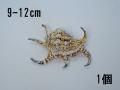スイジガイ(水字貝)小【約9~12cm/1個】