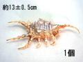 フシデサソリガイ【約13±0.5cm/1個】