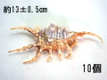 フシデサソリガイ【約13±0.5cm/10個】