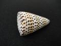 アンボンクロザメ(磨き)【約8〜9.5cm/1個】