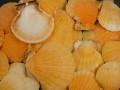 ビクセロムオレンジ片面【約3~5cm/100g】[メール便可-3袋まで]