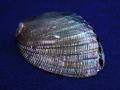 ハリオティス フージェンス 磨き【約13±0.5cm/1個】貝 貝殻 シェル 二枚貝 ブライダル マリン ハワイアン