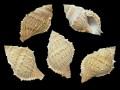 ヒメヤスリミヤコボラ【約6〜8cm/5個入】貝 貝殻 シェル 巻貝 インテリア ハンドメイド マリン ハワイアン