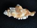 フジツガイ(薄オレンジ色)【約10〜15cm/1個】貝殻・貝・シェル