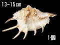 クモガイホワイト【約13~15cm/1個】