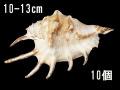クモガイホワイト【約10~13cm/10個】