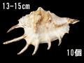 クモガイホワイト【約13~15cm/10個】