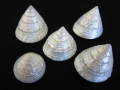 特選トルゴススティラトス真珠磨き【約3~3.5cm/5個入】