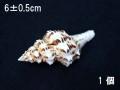 ツノマタモドキ小【約6±0.5cm/1個】