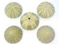 グリーンウーチン【約4〜6cm/5個入】貝 貝殻 シェル ウニ ランプ LED エアープランツ ハンドメイド