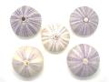 バイオレットウーチン【約4〜6cm/5個入】貝 貝殻 シェル ウニ ランプ LED エアープランツ ハンドメイド