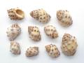 ■メール便可(8袋まで)■キナレイシ【約2.0〜3.5cm/10個入】貝 貝殻 シェル 巻貝 インテリア ハンドメイド マリン ハワイアン