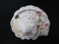 夜光貝【約900~999g/1個】貝殻・貝・シェル