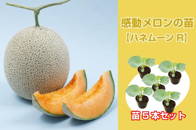 感動メロンの苗 5本セット【ハネムーンR】(赤肉系)