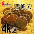 [かにのマルマサ]活ほたて貝4kg[16-24枚]北海道産 活ホタテ[活帆立貝] お取り寄せ ギフト