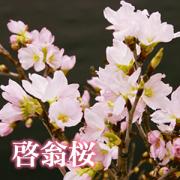 啓翁桜メイン