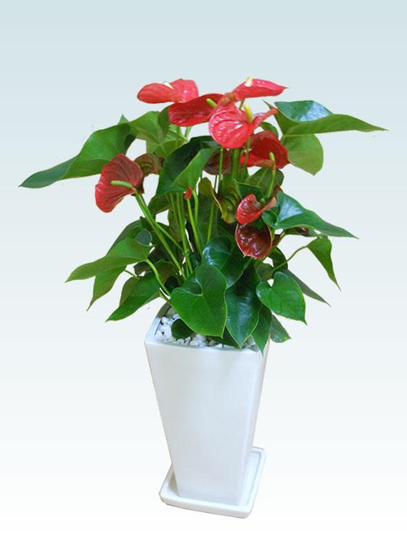 アンスリウム 赤色(陶器鉢植込み、スクエア白色) 1