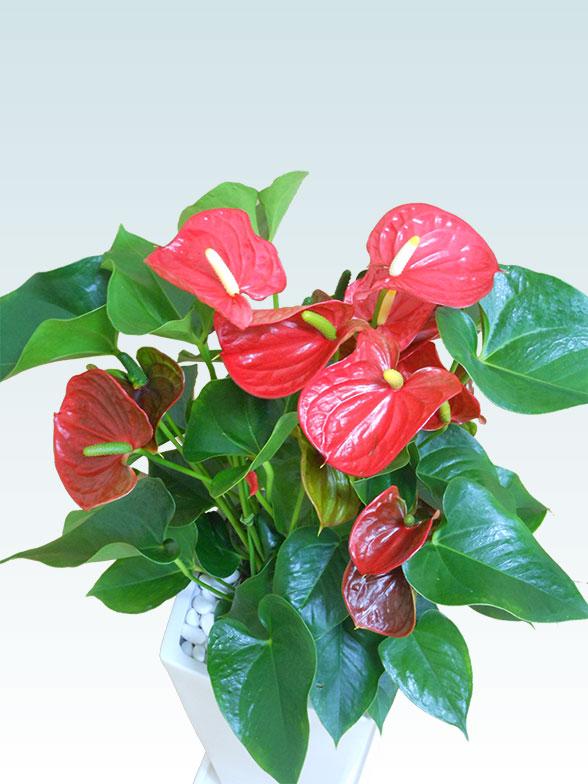 アンスリウム 赤色(陶器鉢植込み、スクエア白色) 2