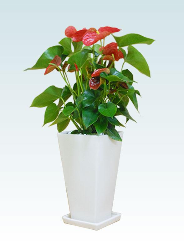アンスリウム 赤色(陶器鉢植込み、スクエア白色) 4