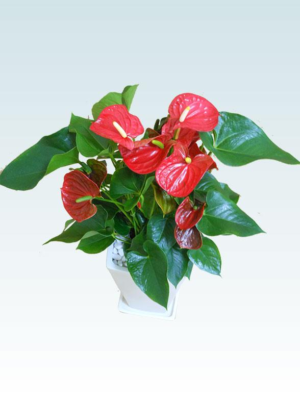 アンスリウム 赤色(陶器鉢植込み、スクエア白色) 5