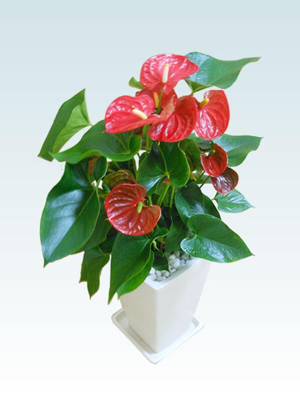 アンスリウム 赤色(陶器鉢植込み、スクエア白色) 6