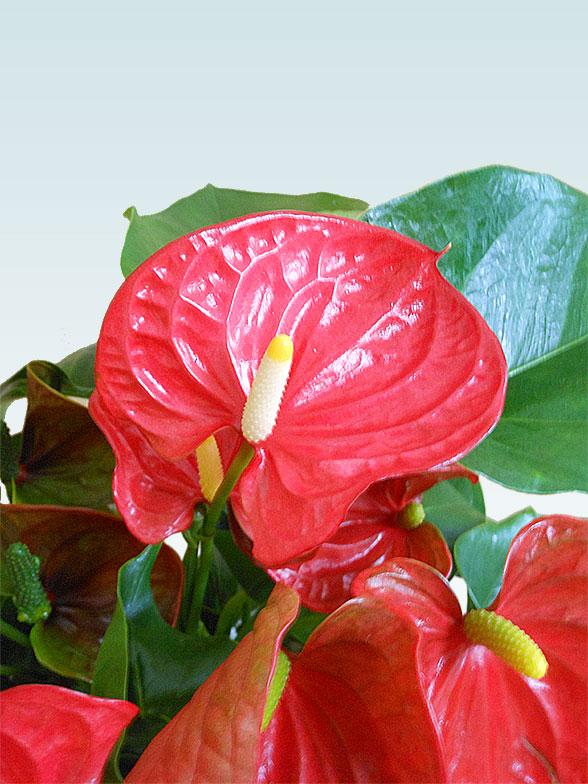 アンスリウム 赤色(陶器鉢植込み、スクエア白色) 8
