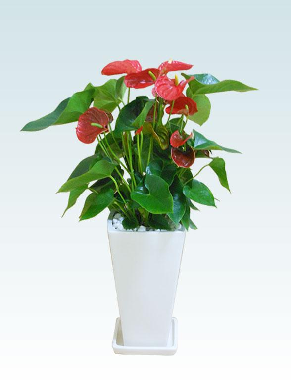 アンスリウム 赤色(陶器鉢植込み、スクエア白色) 9