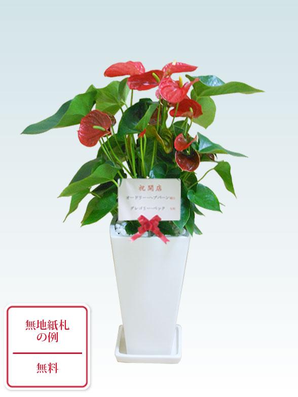 アンスリウム 赤色(陶器鉢植込み、スクエア白色) 10