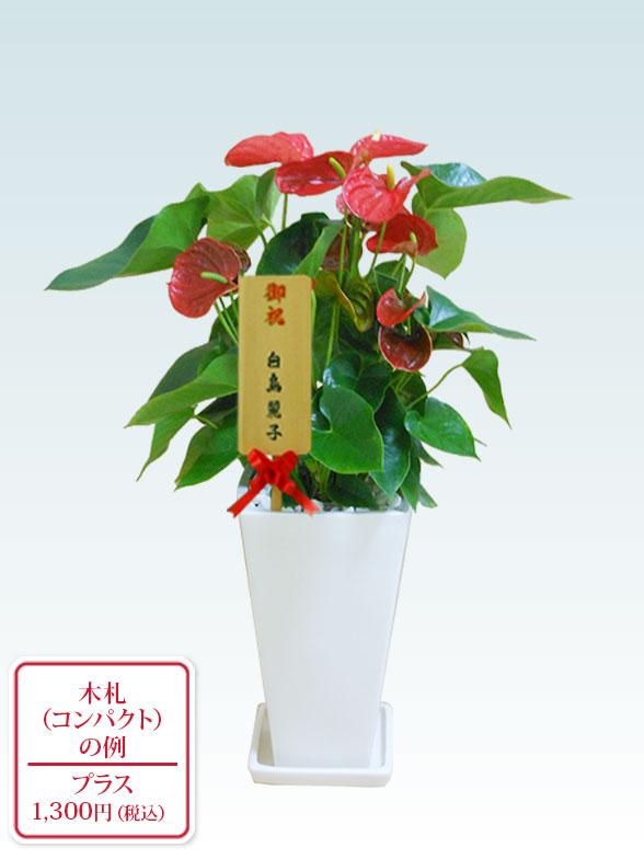 アンスリウム 赤色(陶器鉢植込み、スクエア白色) 11