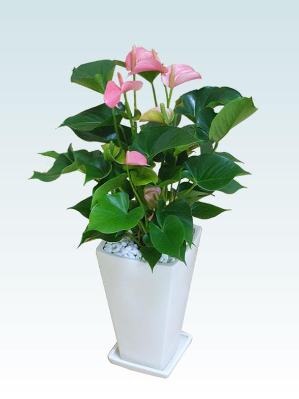 アンスリウム ピンク色(陶器鉢植込み、スクエア白色) 1