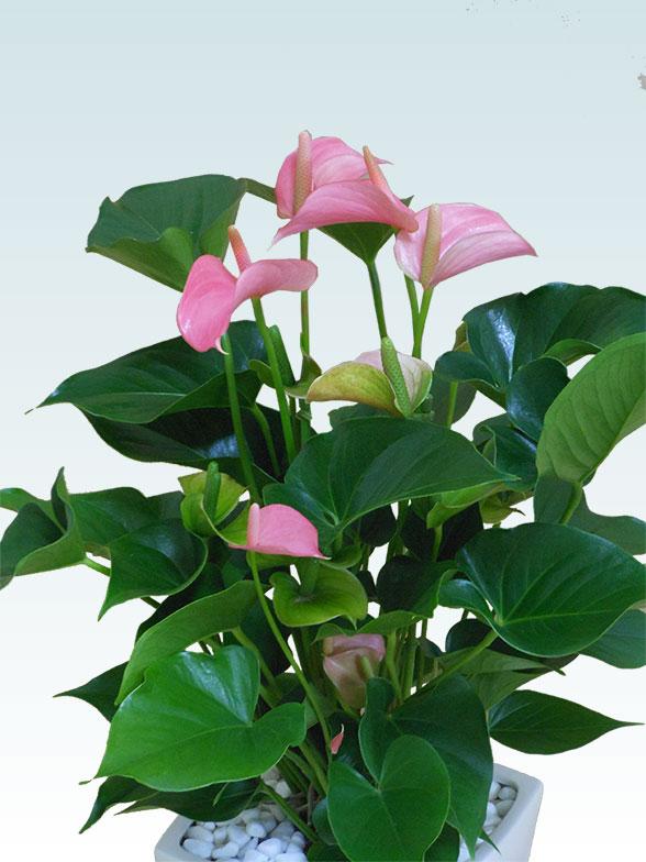 アンスリウム ピンク色(陶器鉢植込み、スクエア白色) 2