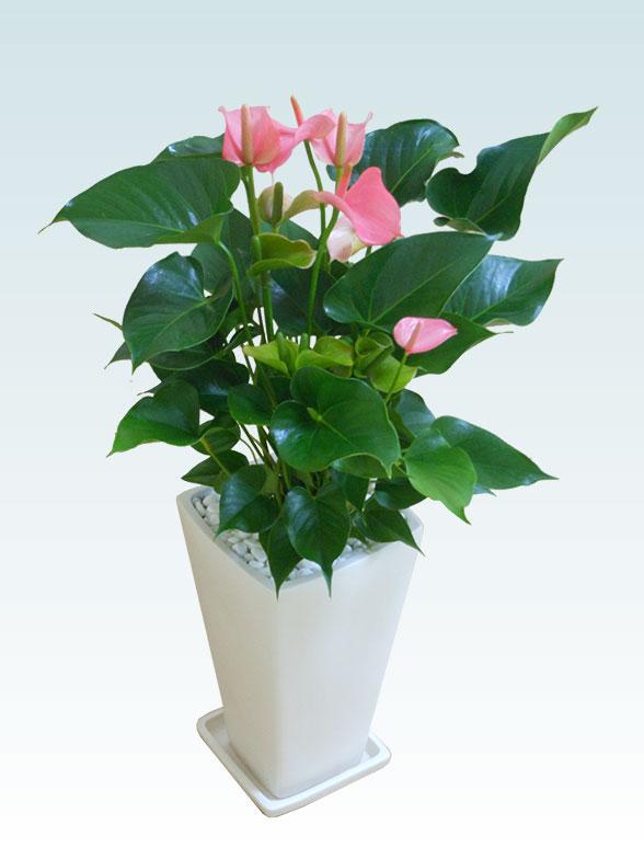 アンスリウム ピンク色(陶器鉢植込み、スクエア白色) 3