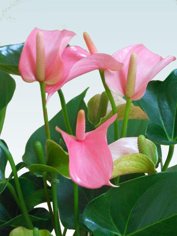 アンスリウム ピンク色(陶器鉢植込み、スクエア白色) 4